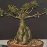 desret rose plant adenium bonsai technique