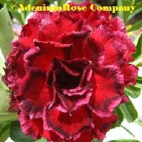 adenium plant desert rose plants flowering succulent dark red