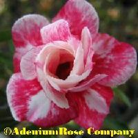 Adenium rose plant bella