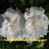 new adenium plant desert rose hybird