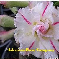 Flowering desert rose plant Forever Love