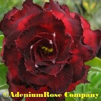 Dark rich red adenium flowering succulent