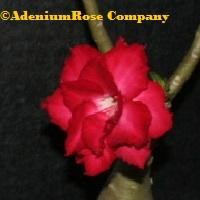 adenium plant flowering cactus succulent desert rose plants triple