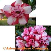 adenium plant desert rose plants flowering succulent divided