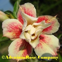 Great triple yellow red adenium flower
