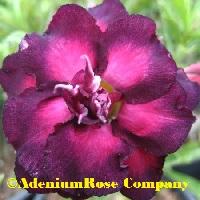 Double adenium plant with unusual center purple violet