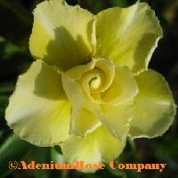 adenium plant desert rose plants flowering succculent