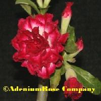 adenium plant flowering cactus succulent desert rose plants