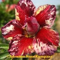 adenium plant flowering cactus succulent desert rose plants red
