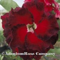 Ninja adenium plant flowering cactus succulent desert rose plants