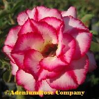 Desert rose plant flowering succulent adenium plants