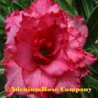 adenium plant flowering cactus succulent desert rose plants quad
