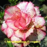 adenium plant flowering cactus succulent desert rose plants great