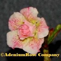 adenium plant flowering cactus succulent desert rose plants veins