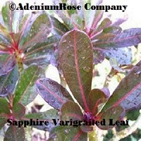 Photo Gallery Adeniumrose Company Your Cactus Succulent Source