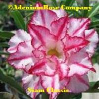 Siam classis bright desert rose plant