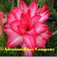 Adenium flowering succulent