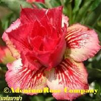 Adenium flower triple formaza