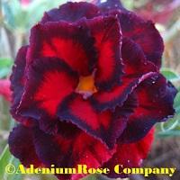 desert rose plant adenium