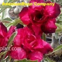 Adenium desert rose plant purple heart
