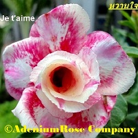 adenium plant wanjai plant