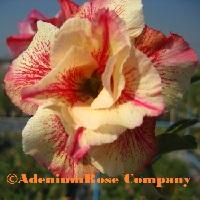 Yellow flowering succulent adenium