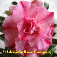 adenium obesum plant triple pink stipes