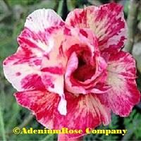 adenium plant bella new