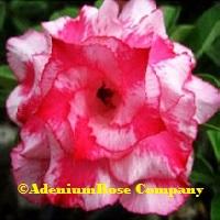 desert rose plant big burst