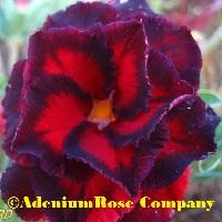 adenium flower black bird hybrid