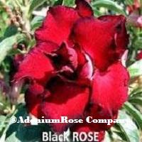 desert roseplant black rose