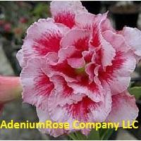 Carnation Kiss adenium