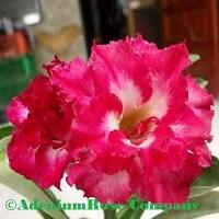 chapttip adenium plant flowering cactus succulent desert rose plants
