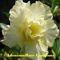 Adenium plant crisp yellow flowering succulent