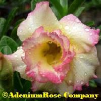 Fancy yellow deert rose plant