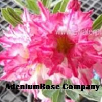 adenium plant fantasy rosy desert rose