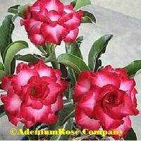 Red rosy adenium plant