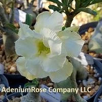 Adenium plant grand thai