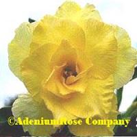 adenium plant flowering cactus succulent desert rose plants yellow