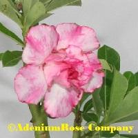 Adenium rose plant desert rose flowering succulent