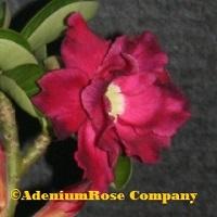 King Violet desert rose plant