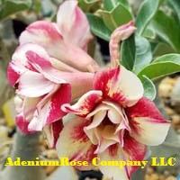 Desrt rose plant flowering succulent kitty