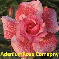 Morning rose desert rose plant