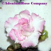adenium plant flowering cactus succulent desert rose plants dream