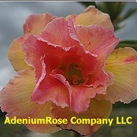 Peachy desert rose flower