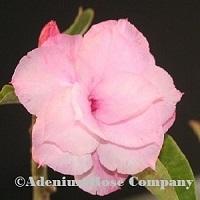 Phamtuma Pink adenium plant flowering succulent