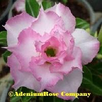 Adenium plant flowering desert rose bella new