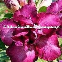 Adenium flowering succuletn Purple Rose