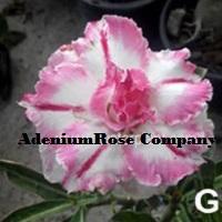 Queen Crown rosy adenium plant
