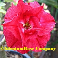 Bright red adenium obesum plant